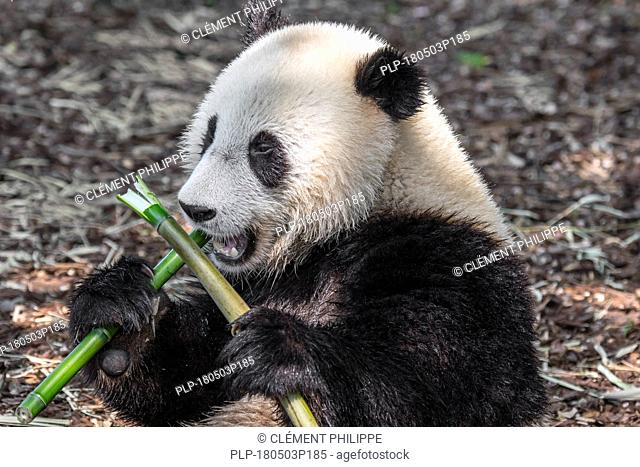 Young two year old giant panda (Ailuropoda melanoleuca) cub eating bamboo