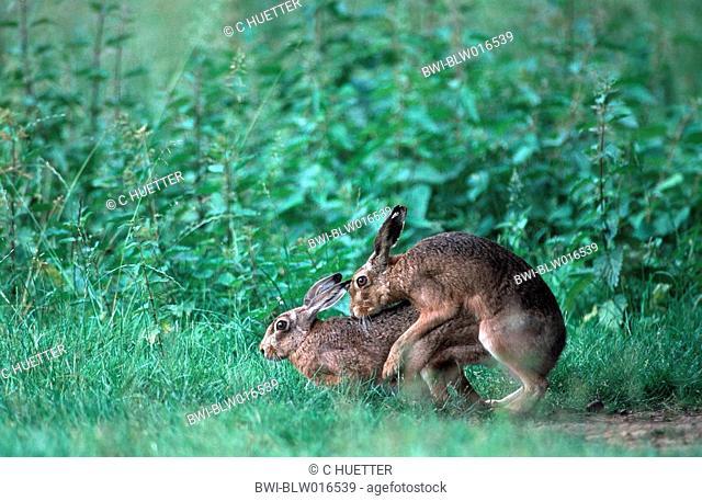 European hare Lepus europaeus, copulation, Jun 99
