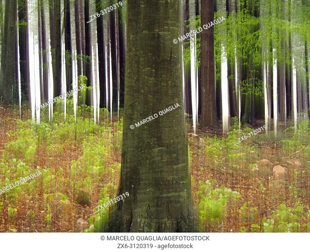 Intentional camera movement. European silver fir forest (Abies alba) and some beech trees at Pla del Rovirol site. Montseny Natural Park