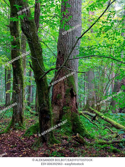 Group of old trees and old natural deciduous stand of Bialowieza Forest in background