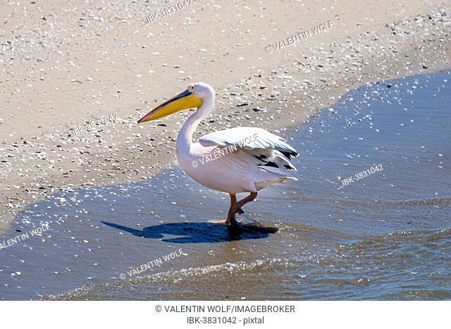 Great White Pelican (Pelecanus onocrotalus) in Walvis Bay, Namibia