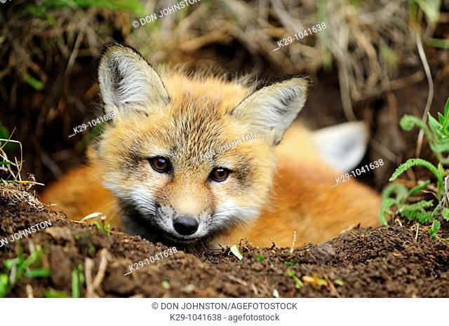 Red fox (Vulpes vulpes), Kit