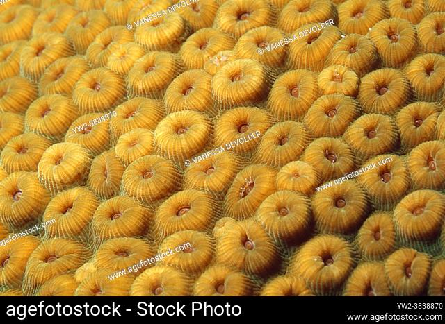 Great star coral in the Caribbean sea around Bonaire