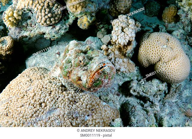 camouflage reef stonefish or simply stonefish (Synanceia verrucosa) Red sea, Egypt, Africa