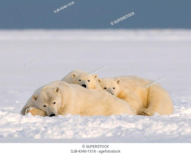 Polar Bear Family Resting On The Pack Ice