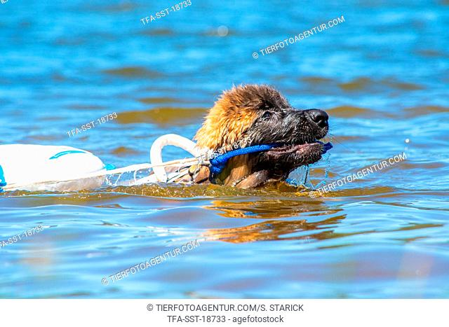 Leonberger is trained as a water rescue dog