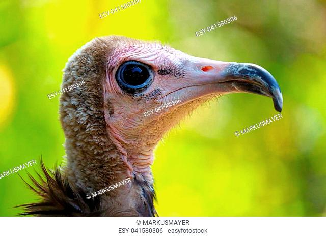 Head of a sad looking hooded vulture (necrosyrtes monachus) in profile view in front of a bright green background