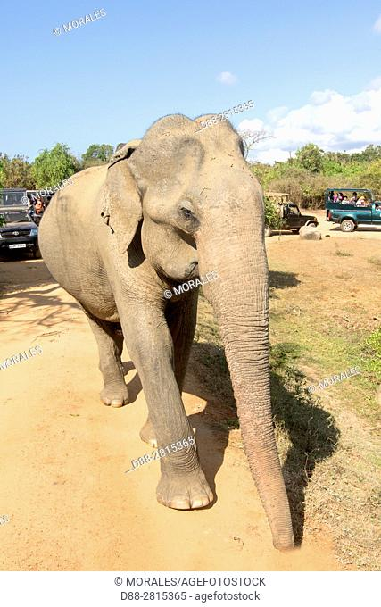 Sri Lanka, Yala national park, Sri lankan elephant (Elephas maximus maximus), walking on the road