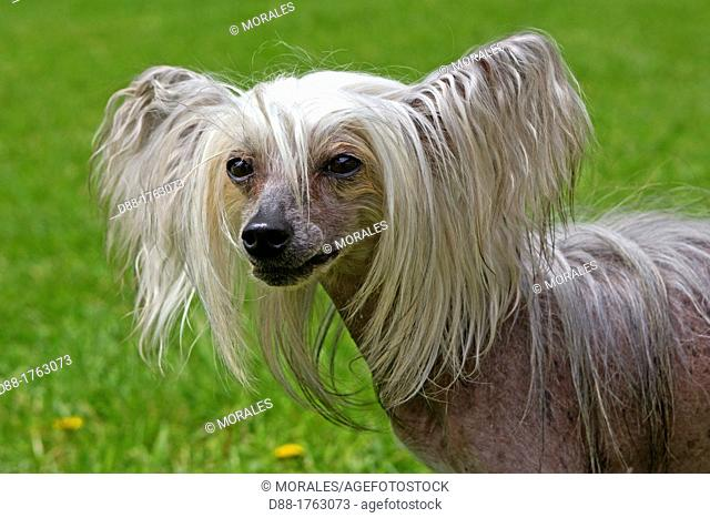 France , Bas-Rhin , Thanville , Chinese Crested Dog Canis lupus familiaris