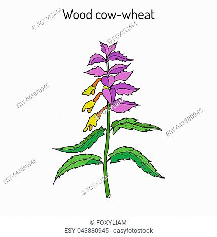 Wood cow-wheat, Night and Day (Melampyrum nemorosum), medicinal plant. Hand drawn botanical vector illustration