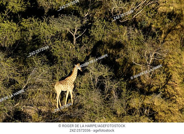 Aerial view of South African giraffe or Cape giraffe (Giraffa camelopardalis giraffa). Okavango Delta. Botswana