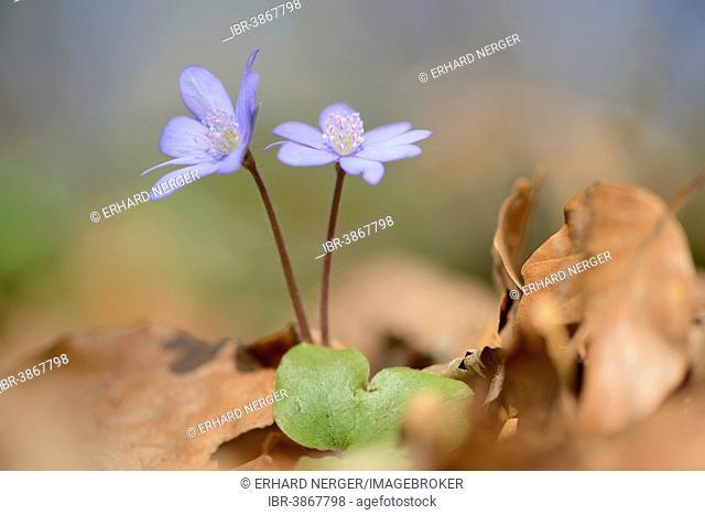Hepatica, Liverleaf or Liverwort (Hepatica nobilis), Jakobsberg Nature Reserve, North Rhine-Westphalia, Germany