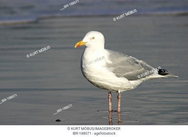 Herring Gull Larus argentatus adult