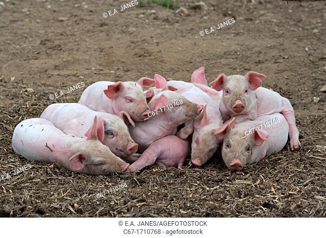 Piglets sleeping in heap