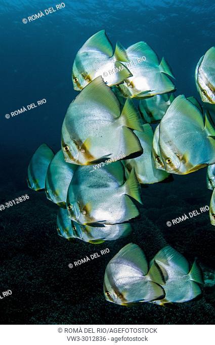 orbicular batfish (Platax orbicularis), Bali, Indonesia