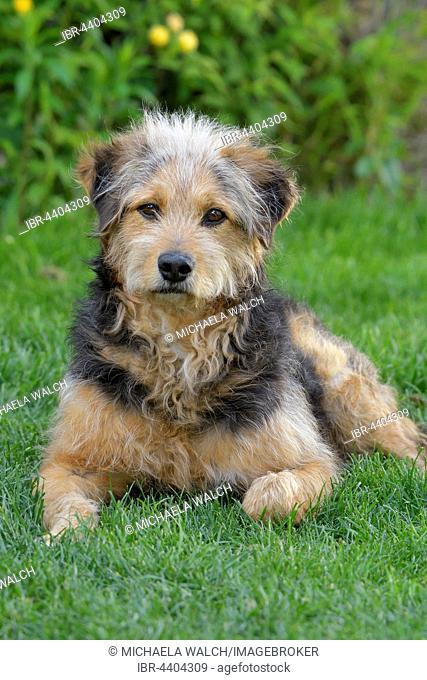 Bosnian Coarse-haired Hound or Barak dog (canis lupus familiaris), Mongrel, portrait, Tyrol, Austria