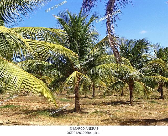 palm trees cocoa coconut plantation area