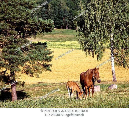 Poland. Suwalski region. Mare with a colt