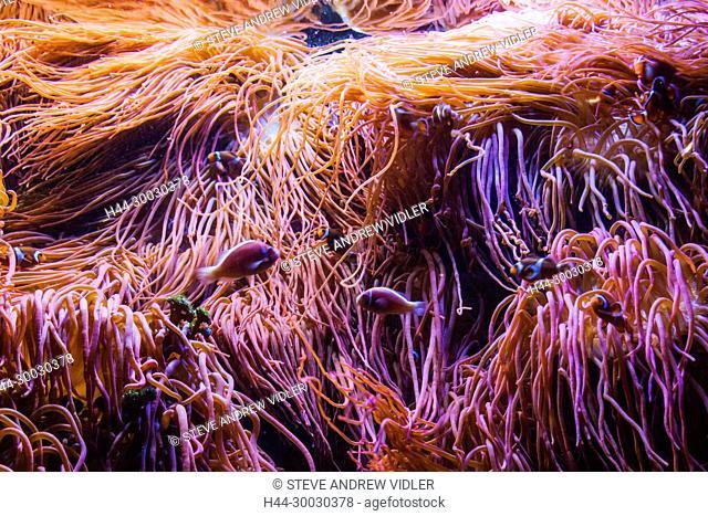 England, Devon, Plymouth, The National Marine Aquarium, Coral Reef