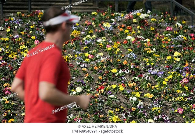 A jogger runs past blooming pansies in a park in Hamburg, Germany, 01 April 2017. Warm temperatures marked the beginning of spring in northern Germany