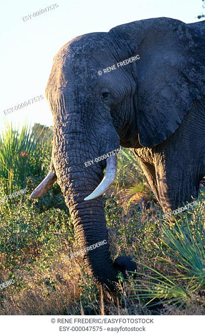 African elephant (Loxodonta africana). Linyanti Swamp. Botswana