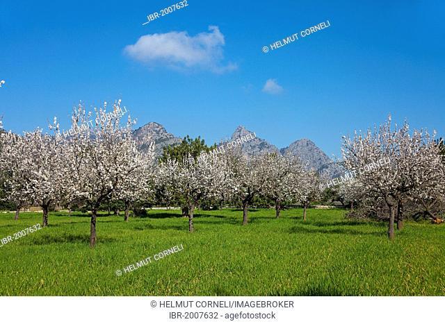 Blooming almond trees (Prunus dulcis) near Alaro, Serra de Tramuntana, Majorca, Balearic Islands, Spain, Europe