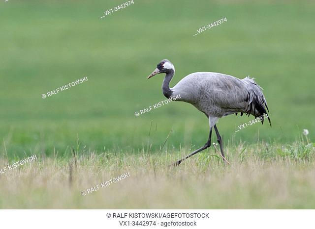 Common Crane ( Grus grus ), single bird, walking through grassland, a meadow, searching for food, wildlife, Europe