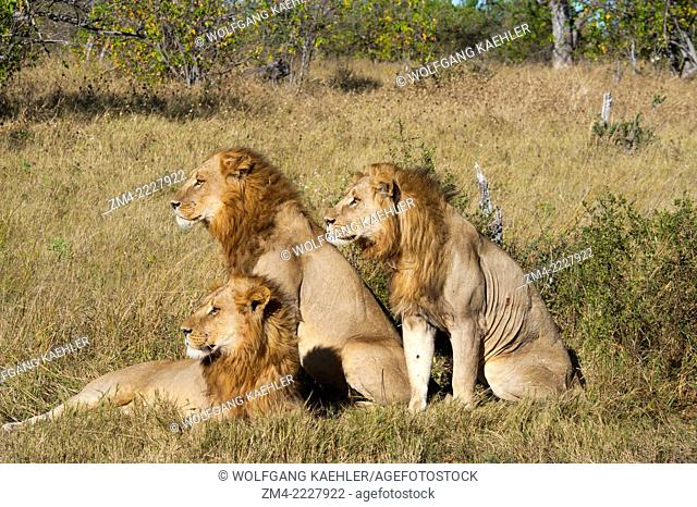 Three brother male lions (Panthera leo) looking for prey at the Linyanti Reserve near the Savuti Channel in northern part of Botswana