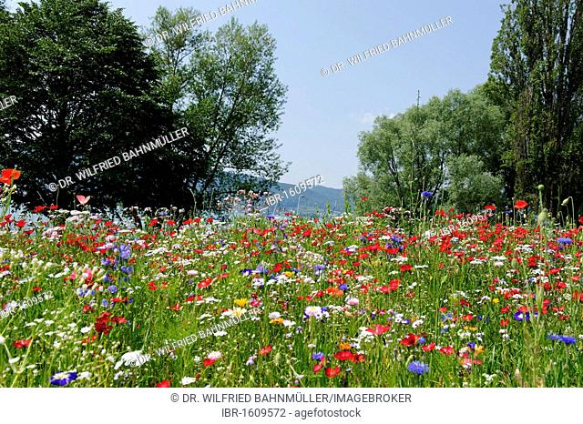 Flower meadow near Sipplingen at Lake Constance, Baden-Wuerttemberg, Germany, Europe