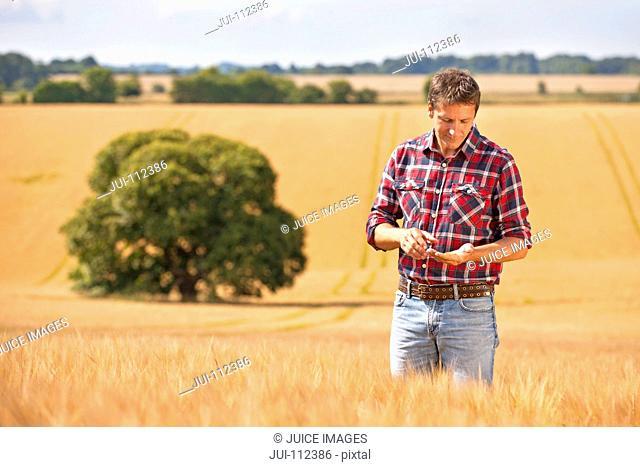 Farmer examining sunny rural barley crop field in summer
