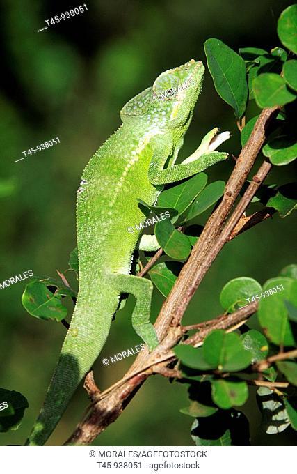 Mayotte Chameleon (Furcifer polleni), male. Ouangani, Mayotte, Comoros archipelago, France
