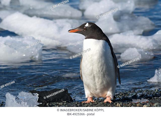 Gentoo penguin (Pygoscelis papua) stands on the beach in front of ice floes, Antarctica