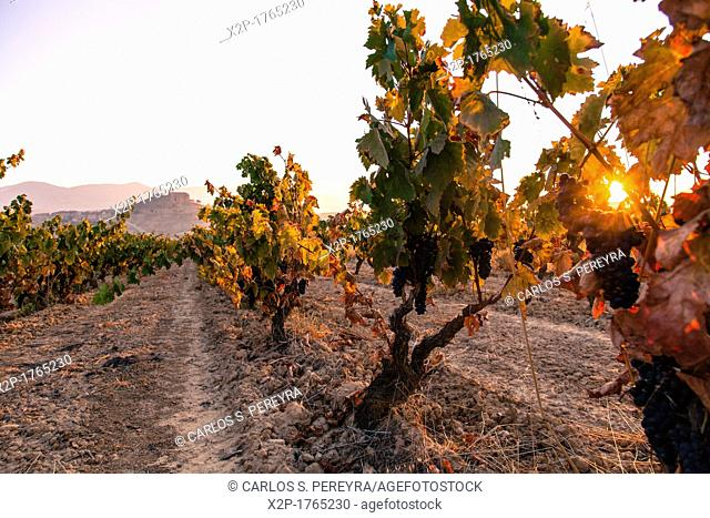 Vineyards around the town of San Vicente de la Sonsierra, on the border of La Rioja and the Basque Country  Spain, Europe