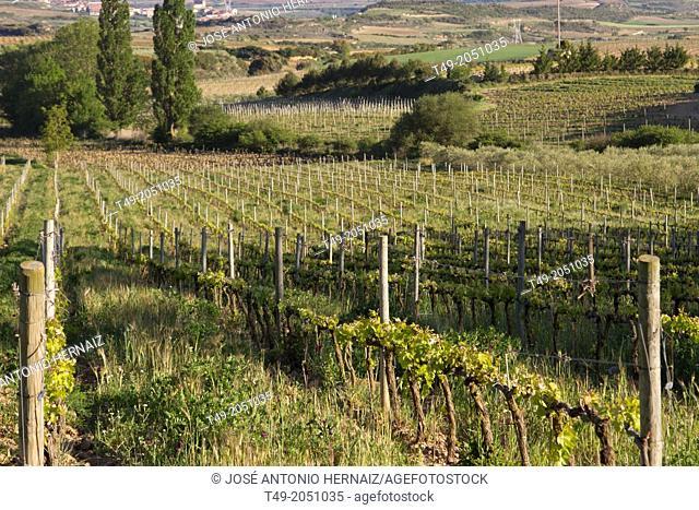 vineyard in La Rioja Spain