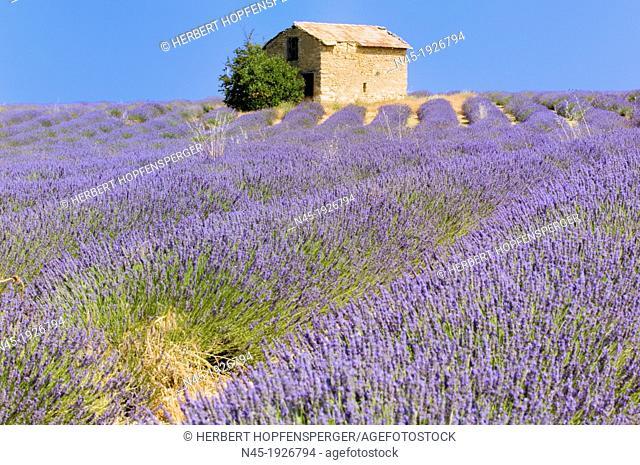 Lavender; Lavender Field; Stone Hut; Landscape; Scenery; Provence; France