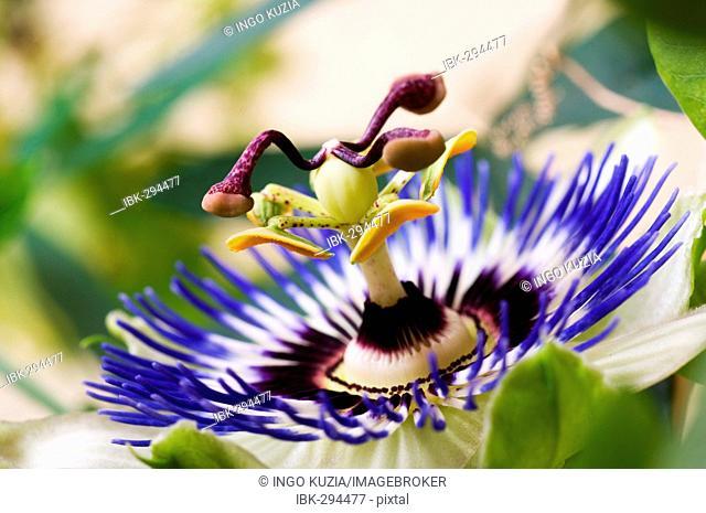 Passion flower, detail of blossom (Passiflora caerulea)