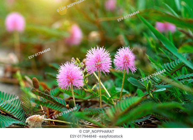 Sensitive plant Stock Photos and Images | age fotostock