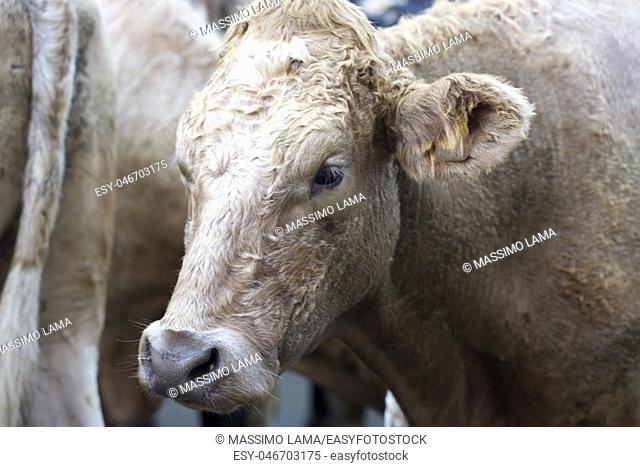 Farm cow close up in Village in Ireland