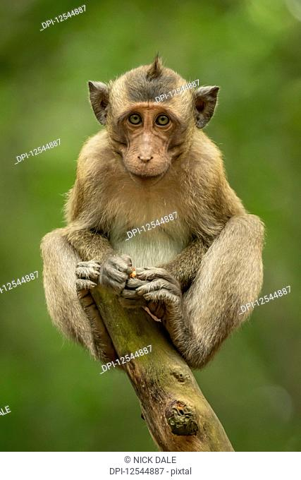Baby long-tailed macaque (Macaca fascicularis) on stump facing camera; Can Gio, Ho Chi Minh, Vietnam
