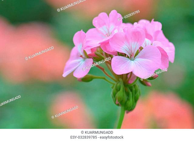pink geranium flower, nature closeup soft focus background
