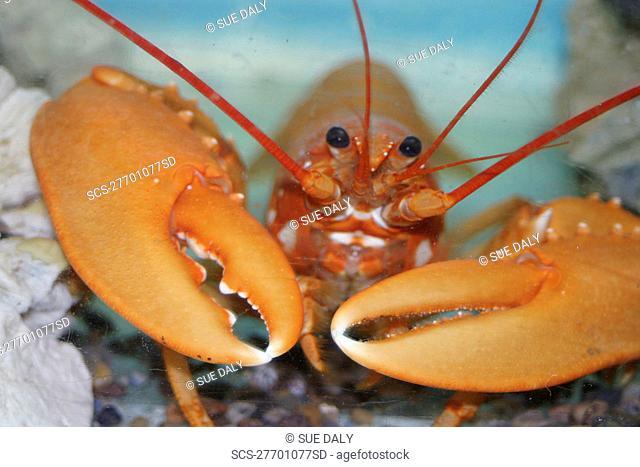 Frank's orange lobster UK RR