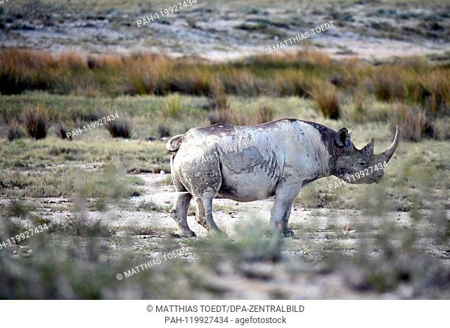 Black Rhinoceros in the Etosha National Park marks its territory with a urine stream, taken on 05.03.2019. The Black Rhinoceros (Diceros bicornis) is an open...