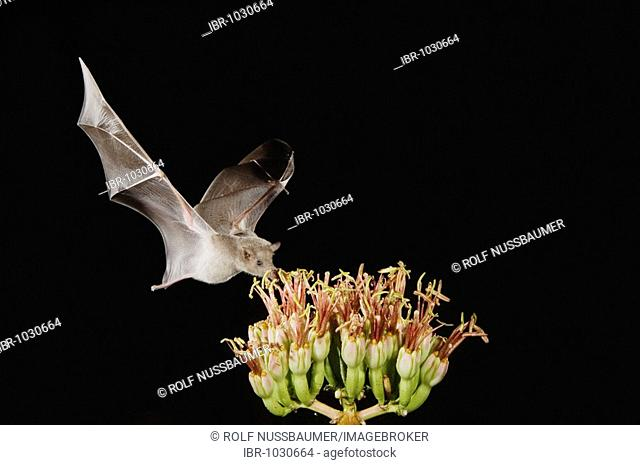Mexican Long-tongued Bat (Choeronycteris mexicana), adult in flight at night feeding on and pollinating Agave blossom (Agave sp