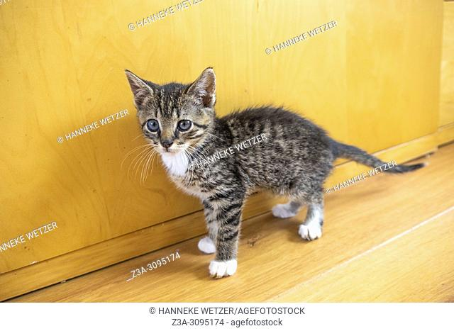 Cute blue eyed kitten on a wooden floor