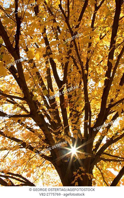 Sugar maple fall foliage, AW Stanley Park, New Britain, Connecticut