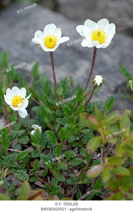 Mountain avens (Dryas octopetala), blooming, Austria