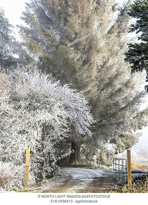 Canada, BC, Delta. Winter frost covered branches in rural setting