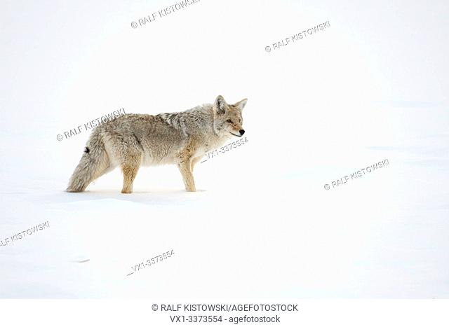 Coyote / Kojote ( Canis latrans ), adult in winter, standing in high snow, watching around attentively, Yellowstone NP, USA.