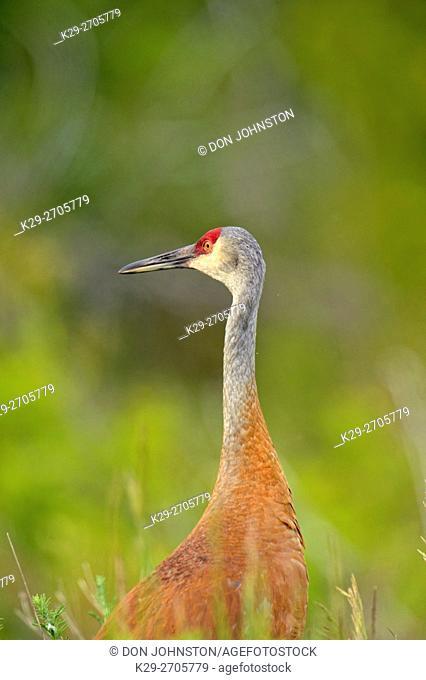 Sandhill crane (Grus Canadensis) Adult , Munising, Michigan, USA
