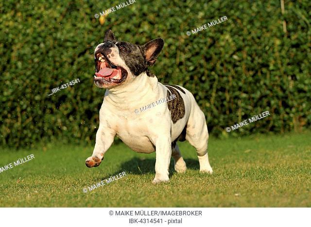 French Bulldog running on a lawn